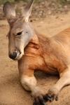 kangaroo (6)