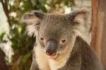 koala (3)