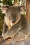 koala (5)