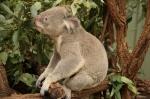koala (6)