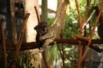 koala sleeping (2)