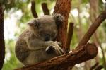 koala sleeping (3)