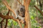 koala sleeping (4)