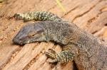 lace monitor lizard (2)