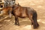 miniature  horse scratching neck