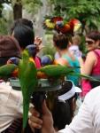 rainbow lorikeet (3)