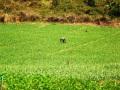 garlic field in thailand