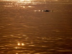 Irrawaddy dolphin on mekong