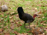 bush turkey at chili beach