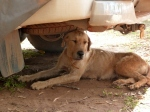 camp dog relaxing under the hilux
