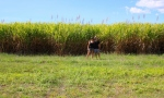 Sugar cane - we're in Queensland
