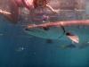 barracuda great barrier reef