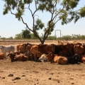 cattle on new dixie road