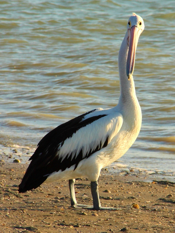 pelican at karumba