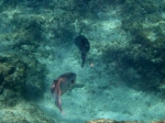barracudas cayman island