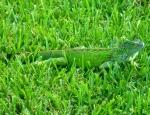 cayman island iguana