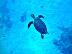 turtle cayman island