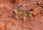 Coyote - Death Valley National Park California