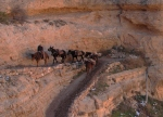grand canyon national park mule train