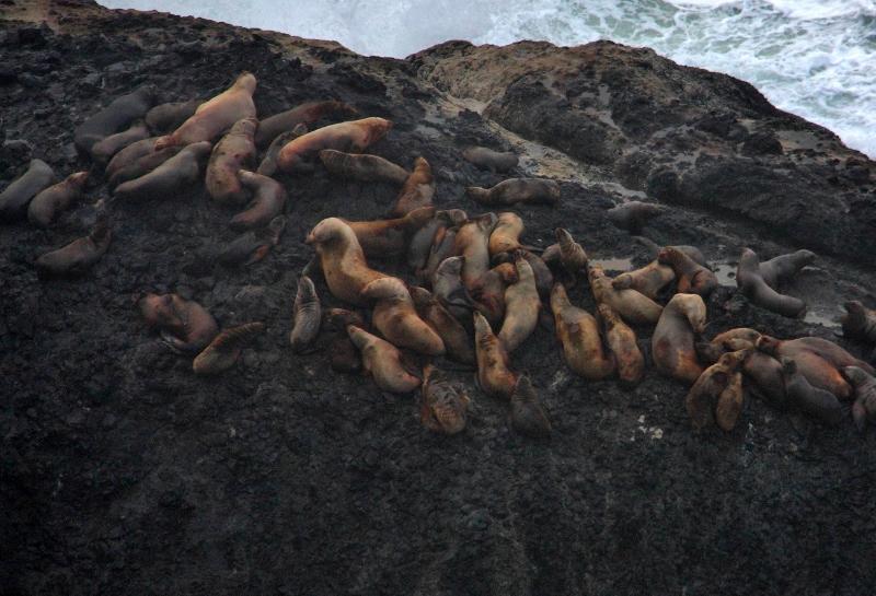 Hwy 101 Oregon Pacific Coast Sea Lions