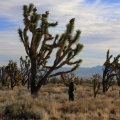 Joe and a Joshua Tree, Mojave Preserve California