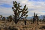 Joe and a Joshua Tree, Mojave Preserve California