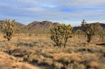 Joshua Tree forest Mojave Preserve