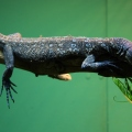 blue spotted tree monitor
