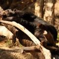 bornean sun bear