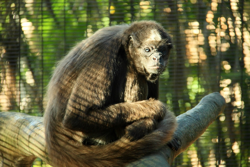 colombian brown spider monkey