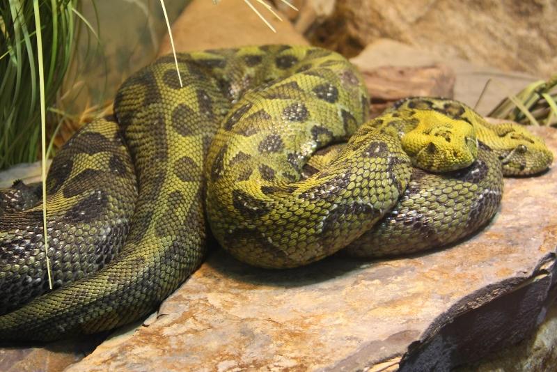 mountain viper snake