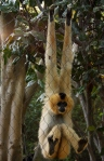 red cheeked gibbon