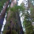 redwood national park boy scout tree