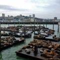 sea lions at san francisco wharf