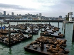 sea lions at san francisco wharf