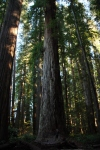 tallest redwood tree in stout grove