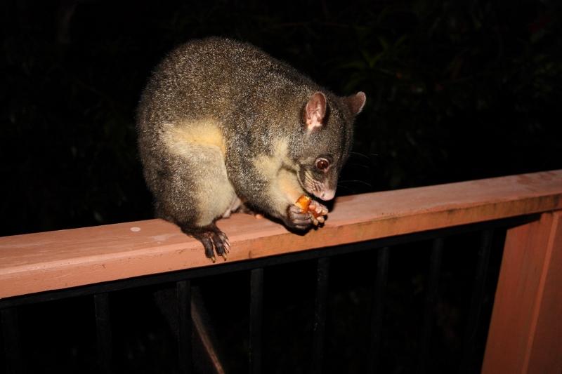 possum on porch