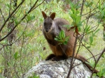 rock wallaby at crows nest national park