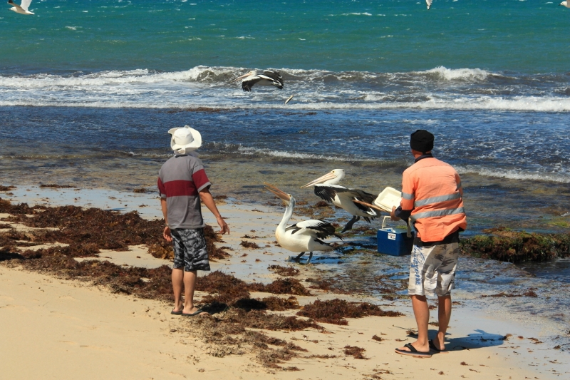 feeding bait to the pelicans