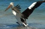 wilbinga pelican