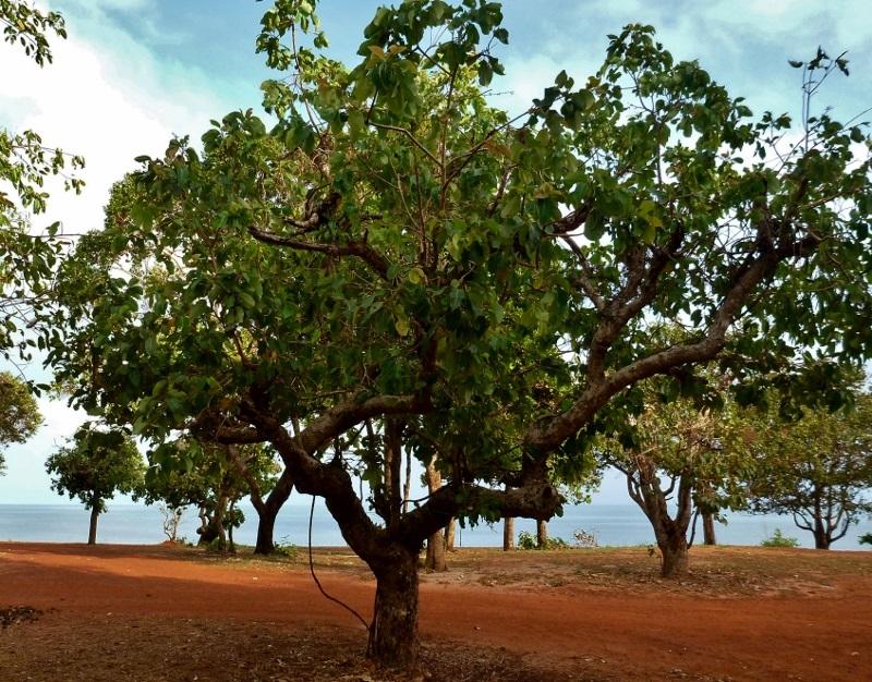 lady apple tree