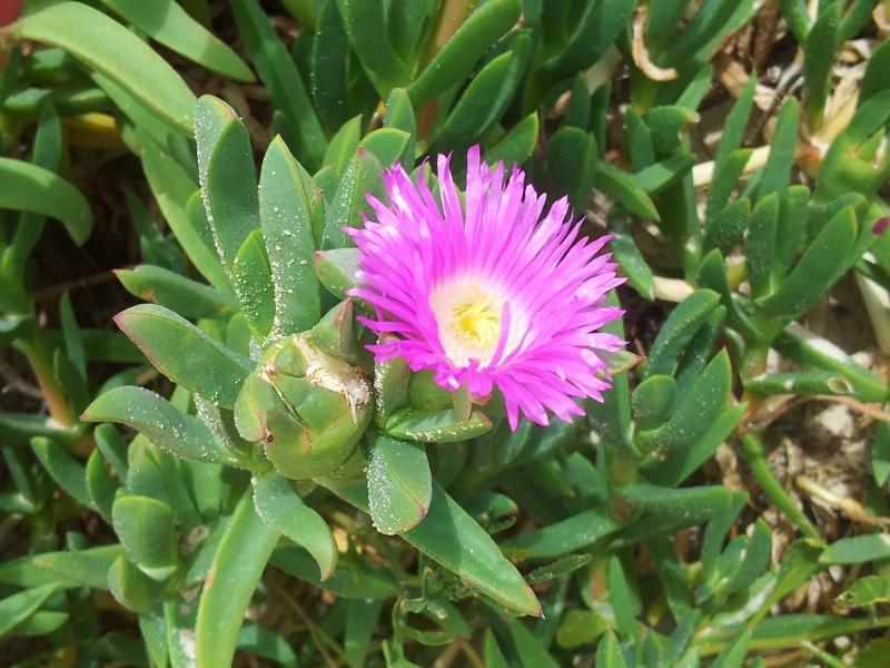 pigface flower