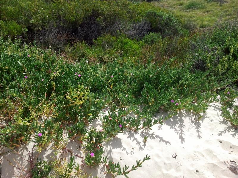 pigface in the dune scrub