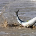 salmon foul hooked