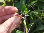 black nightshade ripe berries