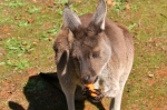 kangaroo eating carrot