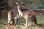 kangaroos eating carrot