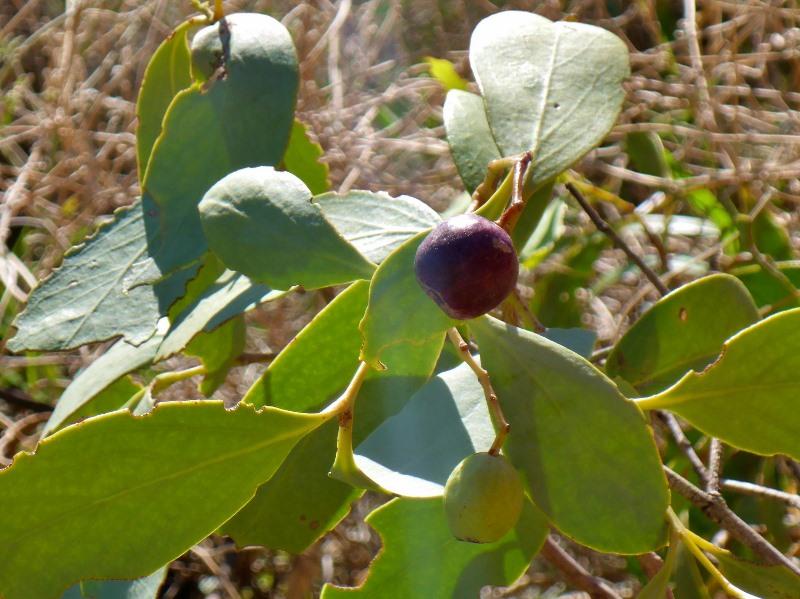 uluru bush plum