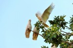 corellas at warmun