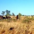 tanami horses